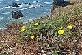 Eschscholzia californica kz07.jpg