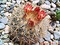Escobaria sneedii organensis SB823.jpg