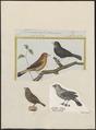 Estrilda amandava - 1700-1880 - Print - Iconographia Zoologica - Special Collections University of Amsterdam - UBA01 IZ15900143.tif