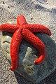 Etoile-de-mer Asterias-rubens Port-Vendres France (3).jpg