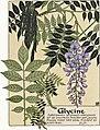 Etude de la plante - p.65 fig.76 - Glycine.jpg