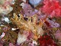 Eubranchus echizenicus.jpg