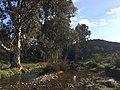 Eucaliptos Arroyo Valquemado - panoramio.jpg