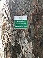 Eukalipt (Albanian); Eucalyptus globus (Latin), Eucalyptus tree (English) - Butrint National Park, Albania.jpg