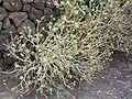 Euphorbia balsamifera.jpg