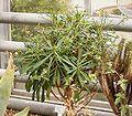 Euphorbia bubalina1.jpg