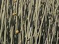 Euphorbia damarana (stems).jpg