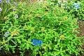 Euphorbia heterophylla - Urban Greening Botanical Garden - Kiba Park - Koto, Tokyo, Japan - DSC05374.jpg