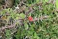 Euphorbia milii 28zz.jpg