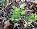 Euphorbia ouachitana.jpg
