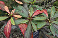 Euphorbia perrieri, Fata Morgana Greenhouse.jpg