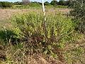 Euphorbia pithyusa 1 Sos Alinos 17072014 40.4322017, 9.7584315.jpg