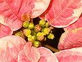 Euphorbia pulcherrima Hybrid104.JPG
