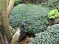 Euphorbia resinifera (Monaco).jpg