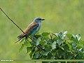 European Roller (Coracias garrulus) (15708136328).jpg