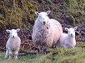 Ewe Plus Two - geograph.org.uk - 761132.jpg