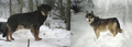F1 wolf-dog hybrids from Wildlife Park Kadzidlowo, Poland.png