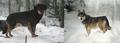 F1 wolf-dog hybrids from Wildlife Park Kadzidlowo, Poland.png