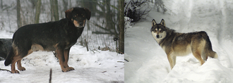 Photographs of two wolf-dog hybrids standing outdoors on snowy ground