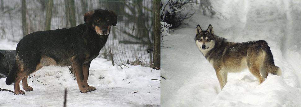 F1 wolf-dog hybrids from Wildlife Park Kadzidlowo, Poland