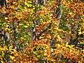 Faget forest (3042564919).jpg