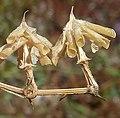 Fagoniacretica-3.jpg