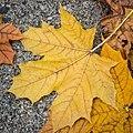 Fall Leaves on Pavement, Minneapolis (30111350034).jpg