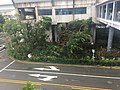 Fallen trees in Shenzhen due to 2018 Typhoon Mangkhut 02.jpg