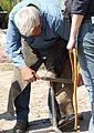 Farrier at work J1.JPG