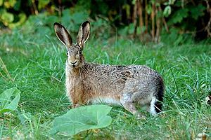 Lepus europaeus English: European Hare Deutsch...
