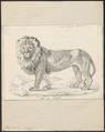 Felis leo - 1818-1842 - Print - Iconographia Zoologica - Special Collections University of Amsterdam - UBA01 IZ22100063.tif