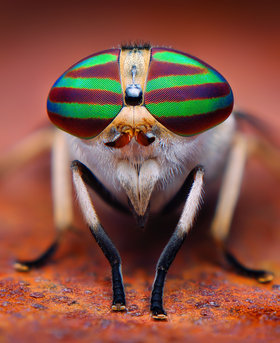 Female Striped Horse Fly (Tabanus lineola).png