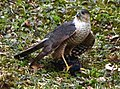 Female sharp-shinned hawk with prey. (Robin).jpg