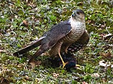 Female sharp-shinned hawk with prey. (Robin).jpg