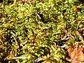 Fern Moss (a4ac77e9-8a55-47fb-996e-b97d29b2121f).jpg