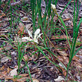 Fernalds Iris in Big Basin State Park.jpg
