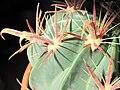 Ferocactus recurvus D2009 spines.jpg