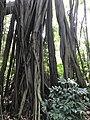 Ficus microcarpa 20170914.jpg