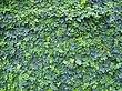Ficus pumila.jpg