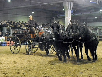 Esperia Pony - Driven five-in-hand at Fieracavalli