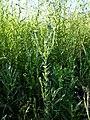 Filago vulgaris sl292.jpg