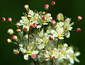 Filipendula vulgaris - flowers.jpg