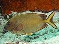 Finespotted rabbitfish (Siganus punctatissimus) (47615725181).jpg