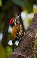 Flameback Woodpecker.jpg