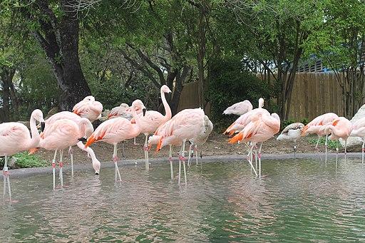 Flamingos Sea World San Antonio IMG 1614 (2)