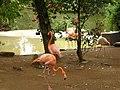 Flamingos Zoo de SP - panoramio.jpg