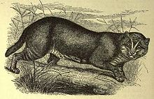 Flat-headed cat (f. planiceps).JPG