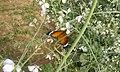 Flepping butterfly.jpg