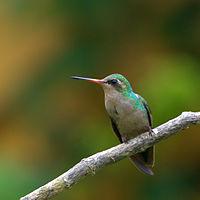 Flickr - Dario Sanches - BESOURINHO-DE-BICO-VERMELHO fêmea (Chlorostilbon lucidus)