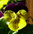 Flickr - Michael Gwyther-Jones - Summer Flower , VIOLA.jpg